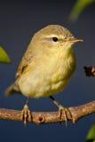 Wierzbowy Warbler Fotografia Stock