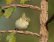 Wierzbowy Warbler Zdjęcie Royalty Free