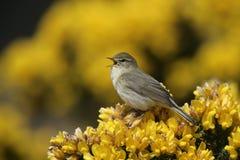 Wierzbowy warbler, Phylloscopus trochilus Zdjęcie Royalty Free