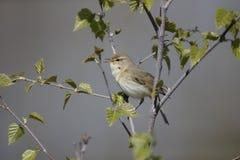 Wierzbowy warbler, Phylloscopus trochilus Zdjęcia Royalty Free