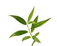 Wierzby gałąź z zieleń liśćmi odizolowywającymi Zdjęcia Stock