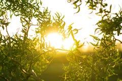 Wierzby gałąź z zielonymi małymi liśćmi nad światłem słonecznym Zdjęcie Royalty Free