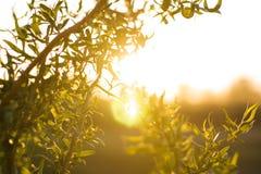 Wierzby gałąź z zielonymi małymi liśćmi nad światłem słonecznym Obraz Stock