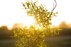 Wierzby gałąź z zielonymi małymi liśćmi nad światłem słonecznym Obrazy Royalty Free