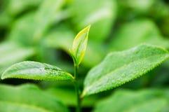 Wierzchołek herbaciani liście w gospodarstwie rolnym obraz royalty free