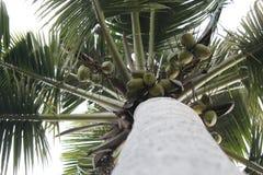 Wierzchołek kokosowy drzewo fotografia royalty free