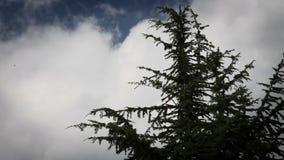 wierzchołek conifer drzewo z niektóre chmurnieje wewnątrz behind zbiory wideo