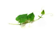 wierzchołek i liście zielona liana Obraz Royalty Free