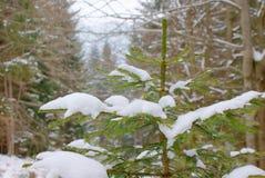 Wierzchołek jedlinowego drzewa zbliżenie w dzikim Obrazy Stock