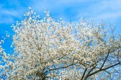 Wierzchołek mirabelki drzewo z kwiatów kwitnąć Fotografia Stock