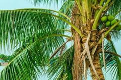 Wierzchołek niski drzewko palmowe z owoc obraz stock