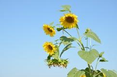 Wierzchołek roślina słonecznik z kolorem żółtym kwitnie przeciw niebieskiemu niebu Obrazy Royalty Free