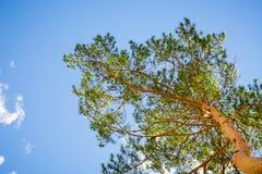 Wierzchołek sosna przeciw niebieskiemu niebu obraz royalty free