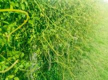 Wierzchołek winograd natury tło Zdjęcie Royalty Free