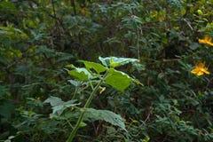 WIERZCHOŁKÓW liście przylądek AGRESTOWY BUSH W ogródzie Fotografia Stock
