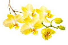 Wierzchołka puszek kwitnienie gałązki piękny kolor żółty z pączkową orchideą, phal obraz stock