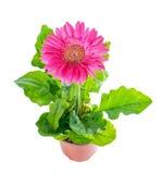 Wierzchołka puszek piękne kwitnienie menchie kwitnie gerbera w flowerpot obraz stock