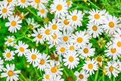 Wierzchołka puszka piękny pole zielona trawa i rumianki jako backgro obrazy royalty free