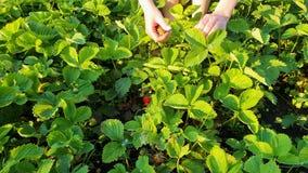 Wierzchołka puszka strzał kobieta wręcza zrywanie truskawki na zieleni polu przy zmierzchem zbiory wideo