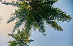 Wierzchołki drzewa drzewka palmowe przyglądający w górę nieba przy z bliska Sri Lanka zdjęcie stock
