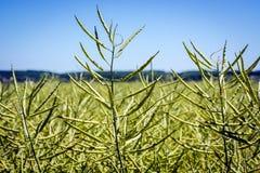 Wierzchołki gwałt rośliny z mnóstwo wielkim dojrzeniem połuszczą kryjący ogromnej uprawy zdjęcie stock