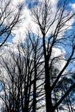 Wierzchołki nadzy drzewa przeciw niebieskiemu niebu w wiośnie Zdjęcia Stock