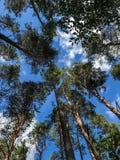 Wierzchołki sosnowi dewevies przeciw tłu pogodny niebieskie niebo fotografia royalty free