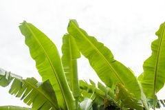 Wierzchołek bananowy drzewo opuszcza na nieba tle zdjęcie stock