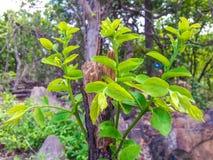 Wierzchołek na drzewie w las Zdjęcie Royalty Free