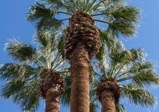 Wierzchołki drzewka palmowe Fotografia Royalty Free