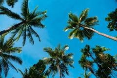 Wierzchołki drzewka palmowe przeciw niebieskiemu niebu Fotografia Royalty Free