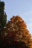 Wierzchołki kolorowi jesieni drzewa Zdjęcie Stock