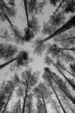 Wierzchołki sosny w lasowej Monochromatycznej fotografii Fotografia Royalty Free