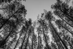 Wierzchołki sosny w lasowej Monochromatycznej fotografii Obrazy Stock