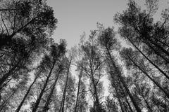 Wierzchołki sosny w lasowej Monochromatycznej fotografii Obrazy Royalty Free