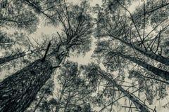 Wierzchołki sosny w lasowej Monochromatycznej fotografii Obraz Stock