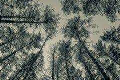 Wierzchołki sosny w lasowej Monochromatycznej fotografii Zdjęcia Royalty Free