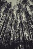 Wierzchołki sosny w lasowej Monochromatycznej fotografii Fotografia Stock
