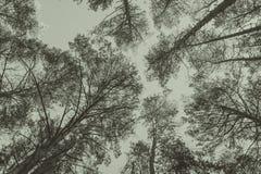 Wierzchołki sosny w lasowej Monochromatycznej fotografii Zdjęcie Stock