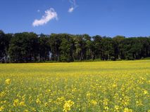 Wiese abgedeckt mit gelben Blumen Lizenzfreie Stockfotos