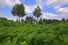 Wiese bedeckt durch Eagle-Farnanlagen mit Birken und bewölktem Himmel Lizenzfreie Stockbilder