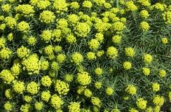 Wiese bedeckt mit vielen wilden gelben Blumen lizenzfreie stockfotografie