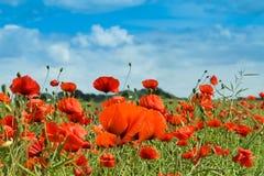 Wiese der Blumenmohnblume Stockbilder