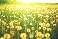 Wiese der Löwenzahnblume über dem Hintergrund der Sommerlandschaft Stockfotografie