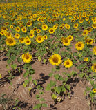 Wiese der Sonnenblumen, Toskana Lizenzfreies Stockbild