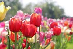 Wiese der Tulpen Lizenzfreies Stockbild