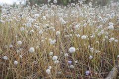 Wiese der weißen Blumen stockfoto