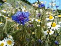 Wiese der wilden Blume Lizenzfreies Stockbild