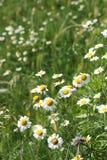 Wiese der wilden Blumen der Kamille Stockfoto