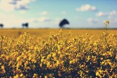 Wiese des gelben Rapssamens und des Himmels mit Wolken Lizenzfreies Stockfoto